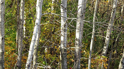 Photograph - The Birches by Kimberly Mackowski