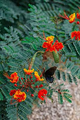 Photograph - The Mexican Red Bird Of Paradise And The Swallow Tail by Jaquita Watters