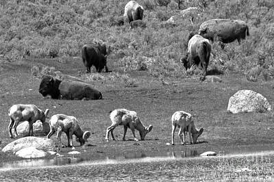 Photograph - The Bison And The Bighorns Black And Whtie by Adam Jewell