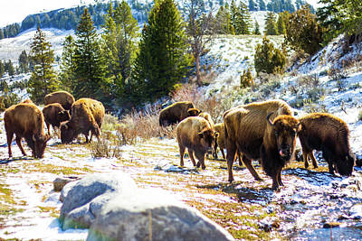 Photograph - The Bison Of Yellowstone by Joshua Tree