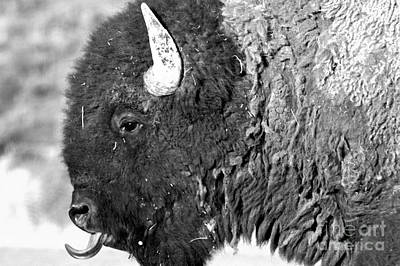Photograph - The Bison Tongue Black And White by Adam Jewell