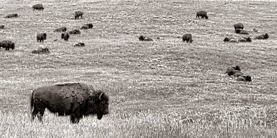 Photograph - The Bisons by Olivier Le Queinec