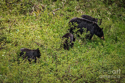 Photograph - The Black  Bear Family by Robert Bales