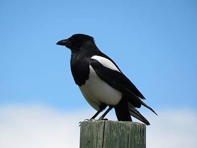 The Black-billed Magpie Art Print
