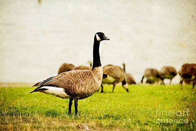 Photograph - The Black Canada Goose by MaryJane Armstrong