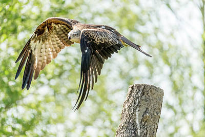 Photograph - The Black Kite  by Darren Wilkes