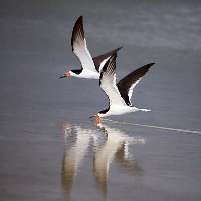 Estuary Photograph - The Black Skimmer By Darrell Hutto by J Darrell Hutto