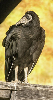 Photograph - The Black Vulture Say He Went That Way by Douglas Barnett