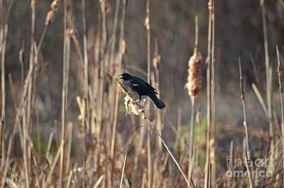 Photograph - The Blackbird Beckons by Maria Urso