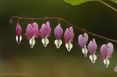 Photograph - The Bleeding Heart by Franz Roth