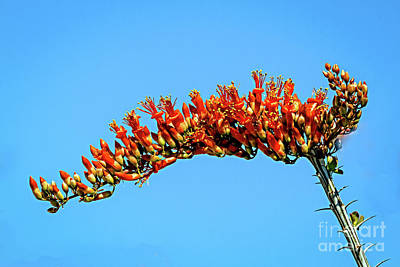 Photograph - The Blooming Ocotillo by Robert Bales