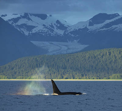 Dorsal Fin Photograph - The  Blow  Of A Male Orca Whale Catches by John Hyde