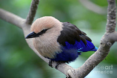 Photograph - The Blue Bellied Roller by Savannah Gibbs