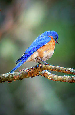 Photograph - The Blue Bird 4 by Lilia D