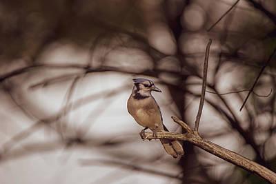 Photograph - The Blue Jay by Bob Orsillo