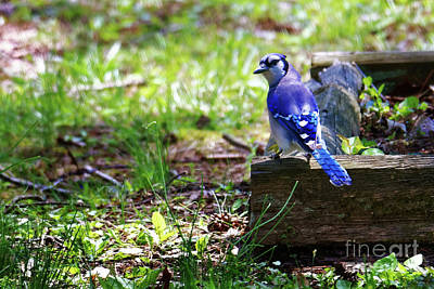 Photograph - The Blue Jay by Paul Mashburn