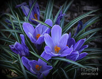 Photograph - The Blue Moon Crocuses Of Spring by Dora Sofia Caputo Photographic Design and Fine Art