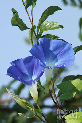 Photograph - The Blue Morning Glory by Cathy  Beharriell