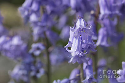 Photograph - The Bluebell Patch by Steve Purnell