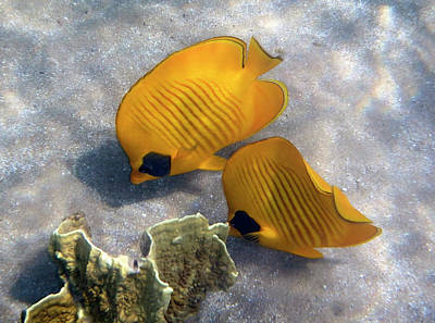 Photograph - The Bluecheeked Butterflyfish by Johanna Hurmerinta