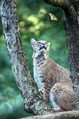 Photograph - The Bobcat And The Butterfly by John Haldane