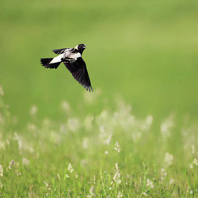 Photograph - The Bobolink In Flight Square by Bill Wakeley