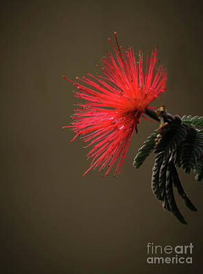 Photograph - The Bottlebrush by Robert Bales