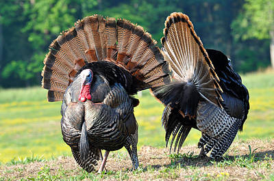Wild Turkey Photograph - The Boys by Todd Hostetter