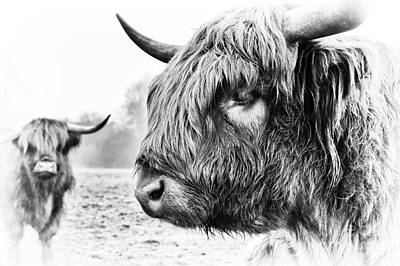 Cow Photograph - The Boyz by Tim Gainey