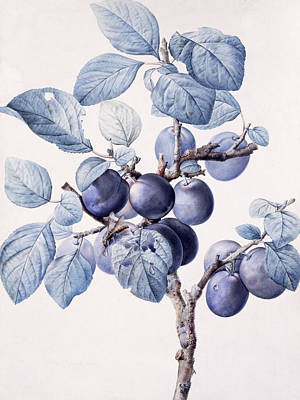 Ripe Drawing - The Branch Of A Plum Tree by Pierre Joseph Redoute