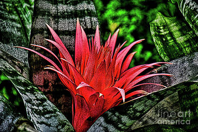 Photograph - The Bromeliad Silver Vase Plant by Ray Shrewsberry