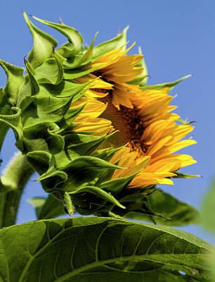 Photograph - The Budding Sunflower by Kathy Clark