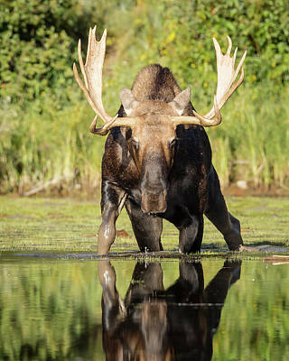 Photograph - The Bull Moose by Jack Bell