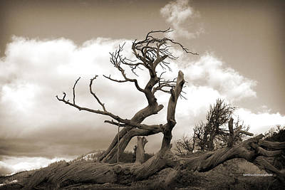 Photograph - The Burmis Tree by Tom Buchanan