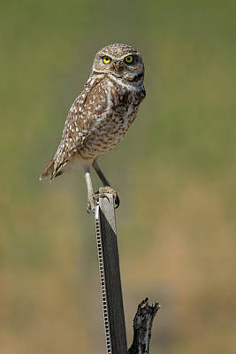 Photograph - The Burrowing Owl by Steve McKinzie