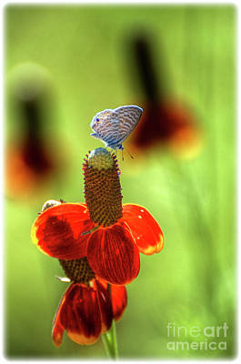 White Peacock Photograph - The Butterfly And The Coneflower by Saija  Lehtonen