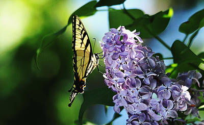 Photograph - The Butterfly And The Lilac by Debbie Oppermann