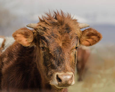 Photograph - The Calf by Yeates Photography