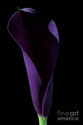 Photograph - The Calla Purple 3 by Steve Purnell