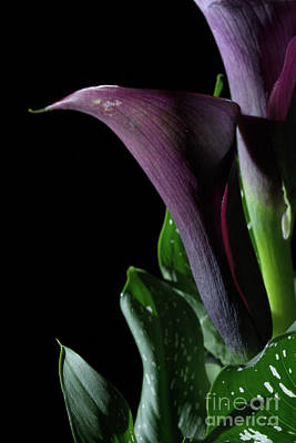 Photograph - The Calla Purple 4 by Steve Purnell
