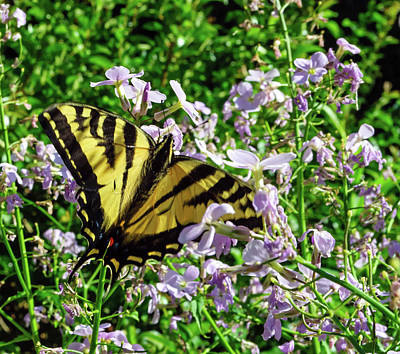 Photograph - The Canadian Tiger Swallowtail by Tikvah's Hope