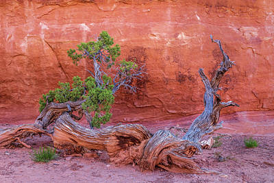 Photograph - The Canyon Wall Juniper by Peter Tellone