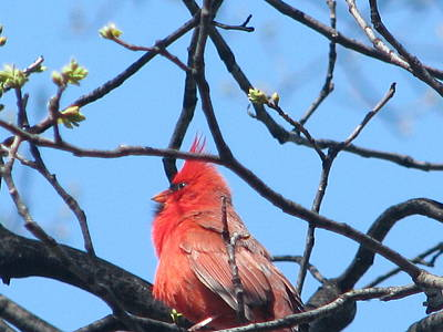 Photograph - The Cardinal 3 Of 4 by Hasani Blue