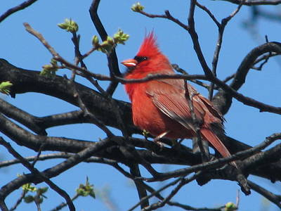 Photograph - The Cardinal 4of 4 by Hasani Blue