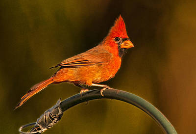 Photograph - The Cardinal by Don Durfee