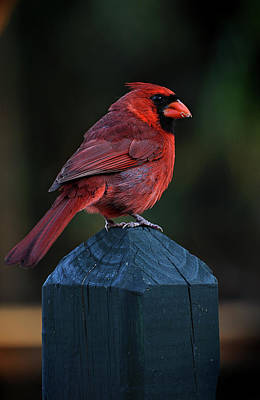 Photograph - The Cardinal by Laurie Hasan