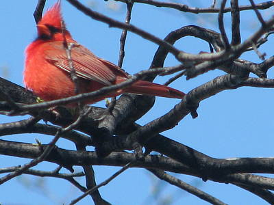 Photograph - The Cardinal Serioes 2 Of 4 by Hasani Blue
