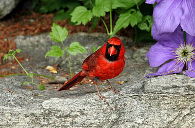 Photograph - The Cardinal Stare by Debbie Oppermann