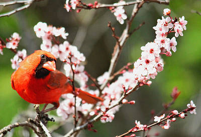 Photograph - The Cardinal by Trina  Ansel