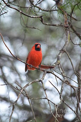 Photograph - The Cardinal's Song by Maria Urso